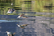 The Phalarope is a migratory bird that visits Mono Lake each summer in great numbers. During its approximate six weeks at Mono Lake it completely molts its feathers and doubles its body weight. The Phalarope then begins its migratory journey towards the antiplano in northern Chile, Bolivia and Argentina where they spend time in other salt lakes.  <br /> <br /> The phalarope will often swim in tight, small circles, creating a vortex from which they can pick out the lake's brine shrimp.