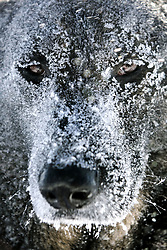 January 17, 2017 - Pec Pod Snezkou, Czech Republic - A Mountain Rescue Service dog is covered in snow during practice rescuing people buried by an avalanche in the Krkonose Mountains (Giant Mountains), Pec pod Snezkou, Czech Republic.  (Credit Image: © David Tanecek/CTK via ZUMA Press)