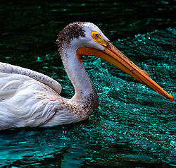 A White Pelican Swims In Turquoise Jeweled Waters At The Saint Louis Zoo