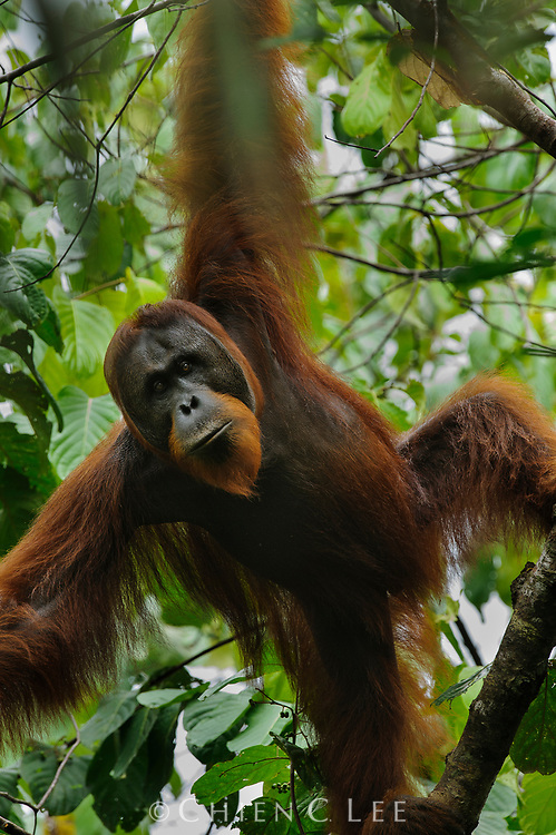 This large male Northwest Bornean Orangutan (Pongo pygmaeus pygmaeus) is just beginning to develop cheek pads, a sign of maturity and placing his age to perhaps between 15 to 20 years. Sarawak, Malaysia.