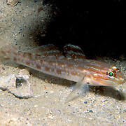 Spotted Goby perch on sandy bottoms near rocks and reefs, perfer cooler deeper waters in Tropical West Atlantic, rare except Florida; picture taken Palm Beach, FL.