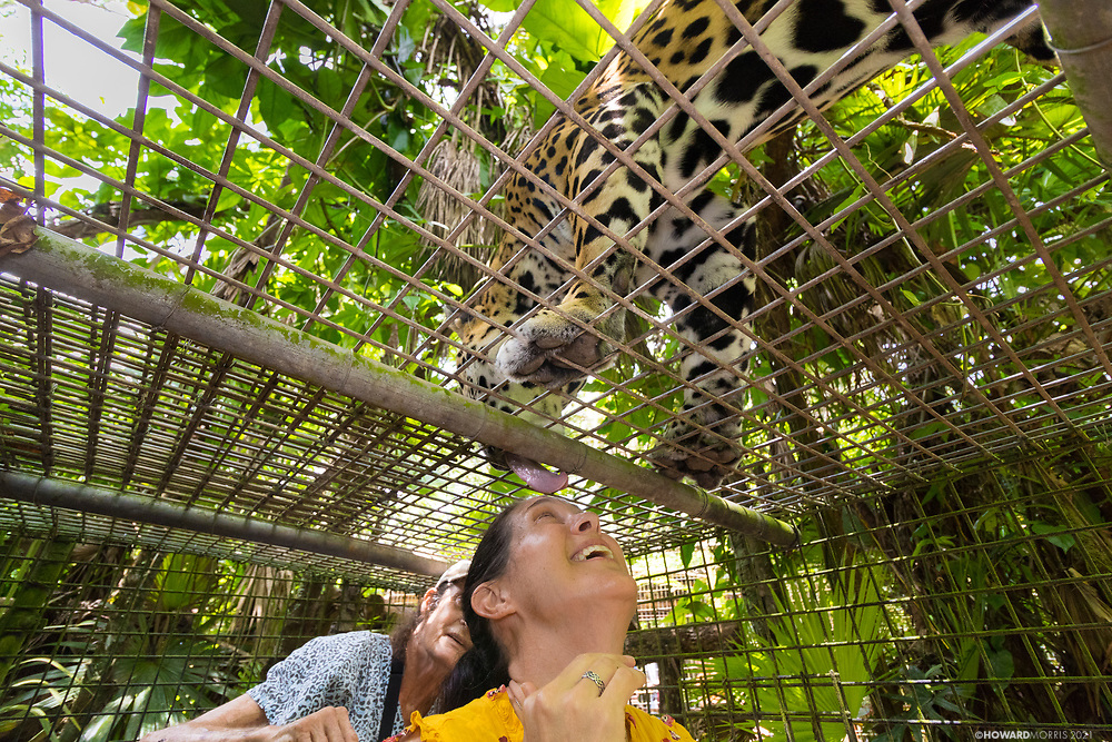 Jaguar (Panthera onca) Junior Buddy shows his affection during a directors tour by Sharon Matola of the Belize Zoo.