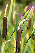 Bullrush marsh plant - Bulrush - Typhaceae seedhead in pond in The Cotswolds, England, United Kingdom