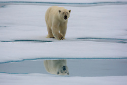 Polar Bear (Ursus maritimus) walking on the drifting ice in Spitsbergen, Svalbard