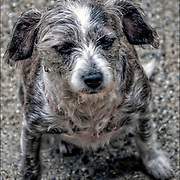 Australian mixed-breed dog outdoors for a walk  in Greenwich Village.<br /> <br /> A mongrel, mixed-breed dog or mutt is a dog that does not belong to one officially recognized breed and is not the result of intentional breeding.