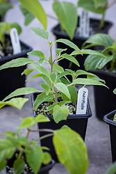 Salvia cuttings