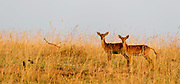 Kob antelopes (Kobus kob) from Murchinson, Uganda.