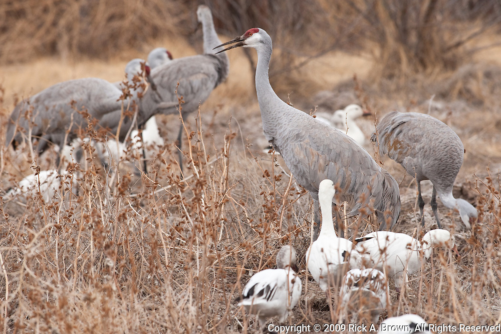 Bosque del Apache National Wildlife Refuge, New Mexico, Sandhill Cranes (Grus canadensis) foraging