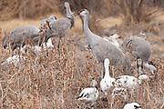 Bosque del Apache National Wildlife Refuge, New Mexico, Sandhill Cranes (Grus canadensis) foraging