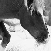 A Chincoteague pony (Equus ferus caballus) feeds in the snow, Chincoteague National Wildlife Refuge, Assateague Island, Virginia.  Black and white image.