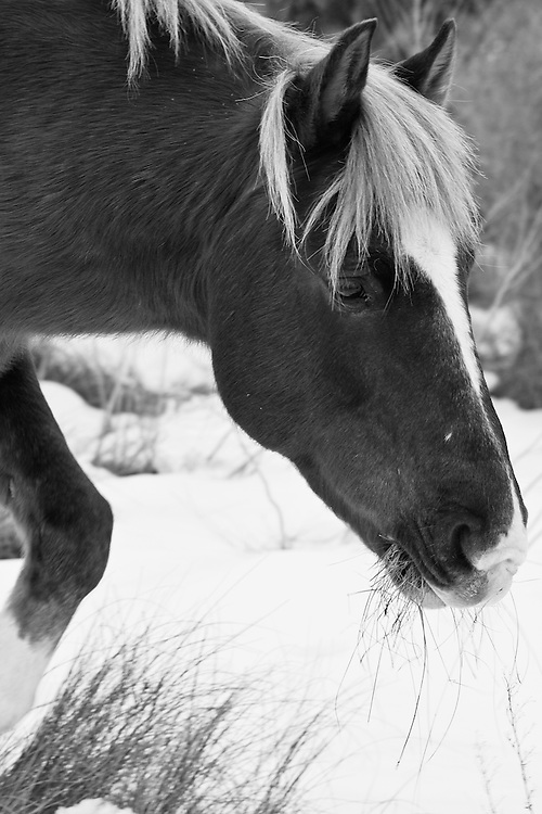 A Chincoteague pony (Equus ferus caballus) feeds in the snow, Chincoteague National Wildlife Refuge, Assateague Island, Virginia.  Black and white image.
