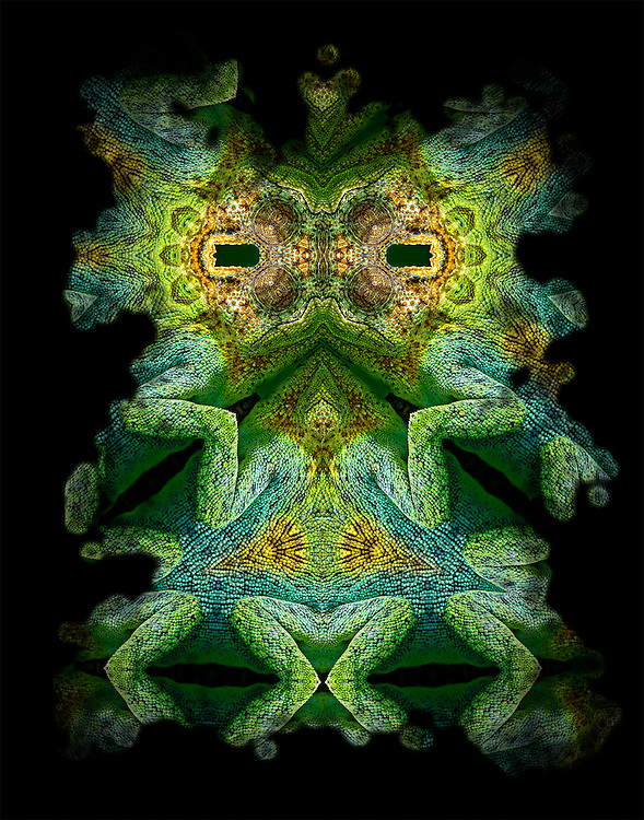 Johnstons Chameleon