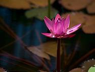 Nymphaea (water lily) at The Seewoosagur Ramgoolam Royal Botanical Garden, Pamplemousses, Mauritius