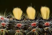 Vapourer moth (Orgyia antiqua) | Schlehenspinner (Orgyia antiqua)- Raupe versteckt zwischen Eichenblättern