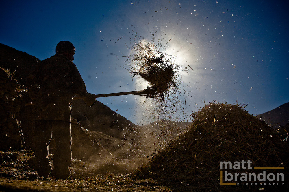 A man winnowing the barley harvest in Ladakh.