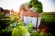 Organic lettuce being picked by a latino farm worker in St Paul, Oregon near Portland