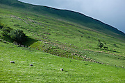 Sheep on mountain slopes at Tal-Y-LLyn, Snowdonia, Gwynned, Wales
