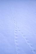 Small animal tracks crisscross the fresh snow at Joshua Tree National Park, California.