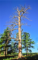 This dead ponderosa pine tree provides a home for many creatures like birds and insects.  Florissant Fossil Beds National Monument.  Colorado.