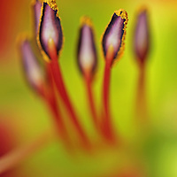 Red tiger lily abstract flower photography artwork from my flower photography collection at Roth Galleries.<br />