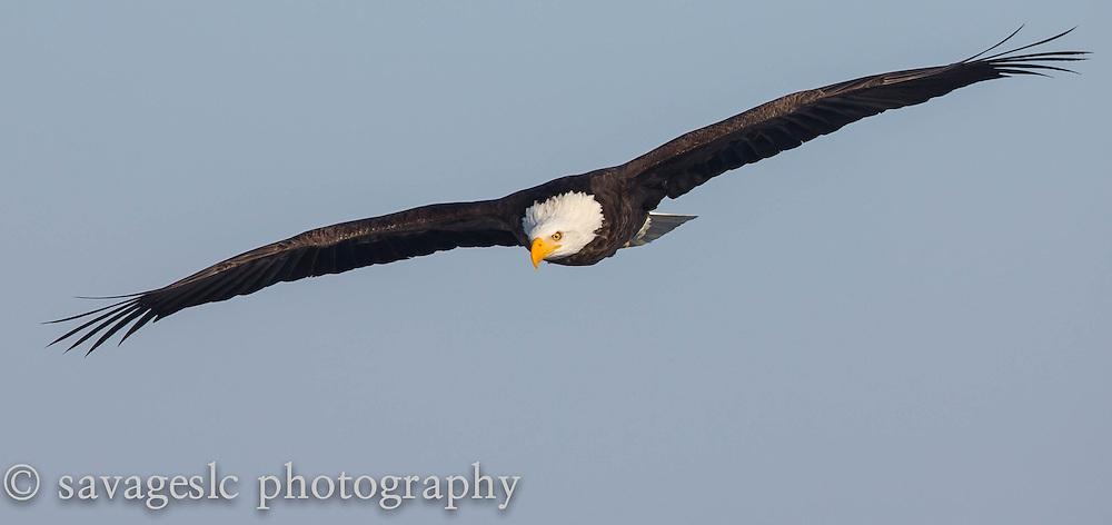 The soaring bald eagle. The Great Salt Lake February 2013