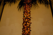 A palm tree in Sun City, Arizona.