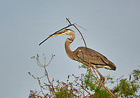 Great Blue Heron, (Ardea herodias), carrying a nesting stick,  Wakodahatchee Wetlands, Delray Beach, Florida, USA   Photo: Peter Llewellyn