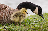 Middletown, New York - A Canada goose a gosling look for food by the lake at Fancher-Davidge Park  on May 6, 2017.