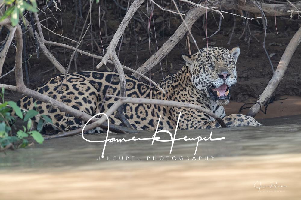 Jaguar Cooling Off in Water
