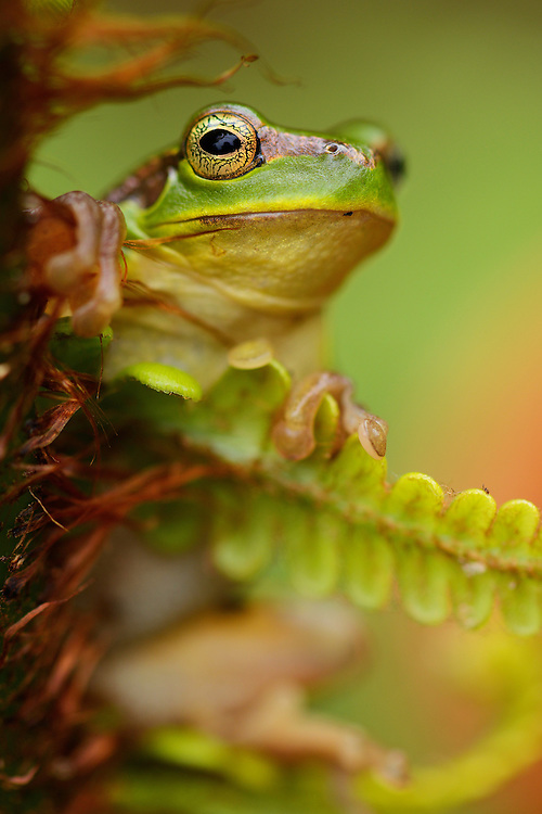 Gaoligongshan Tree Frog, Polypedates gongshanensis, in Fern, Cibotium barometz, Gaoligongshan Mountains, Yunnan, China
