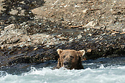 A Grizzly bear boar stands in water fishing in the upper McNeil River falls at the McNeil River State Game Sanctuary on the Kenai Peninsula, Alaska. The remote site is accessed only with a special permit and is the world's largest seasonal population of brown bears.