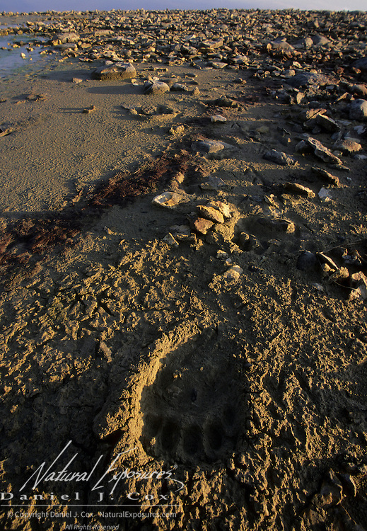 Polar Bear (Ursus maritimus) tracks in a dried river bed in Manitoba, Canada.
