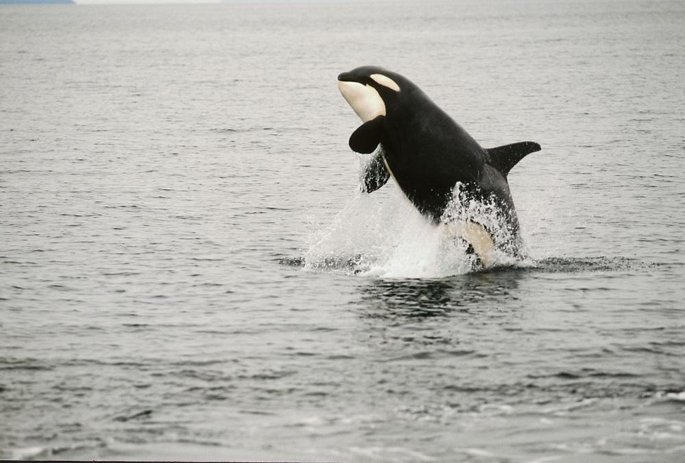 Alaska. Southeast. Chatham Strait. Orca/ Killer Whale (Grampus orca) breaching.