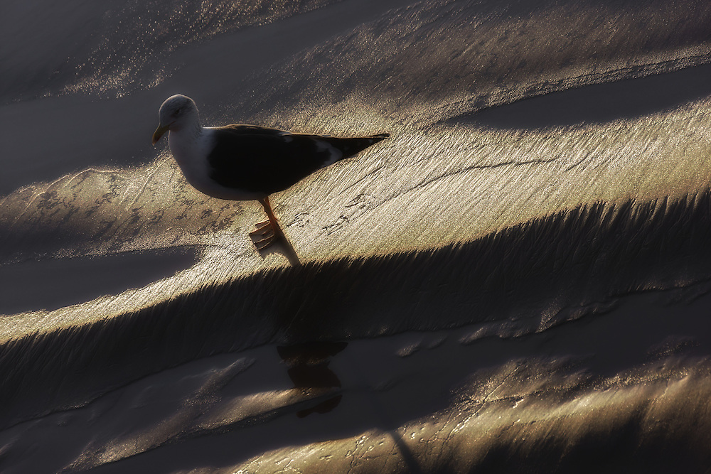 Seagull on wet sand at the beach of Essaouira.