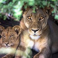 Lions - Ultimate Predators
