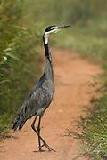 Black-headed heron (Ardea melanocephala)<br /> Lango Bai<br /> Republic of Congo (Congo - Brazzaville)<br /> AFRICA<br /> HABITAT & RANGE: near water in Sub-Saharan Africa & Madagascar