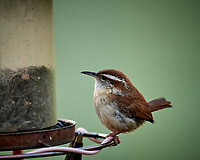 Carolina Wren feeding at a bird feeder. Image taken with a Nikon D5 camera and 600 mm f/4 VR lens (ISO 1600, 600 mm, f/4, 1/125 sec)