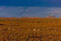 "Springbok,  a medium-sized brown and white antelope-gazelle, seen from the Rovos Rail train  ""Pride of Africa"" as it crosses the Great Karoo Desert on it's journey between Pretoria and Cape Town, South Africa."