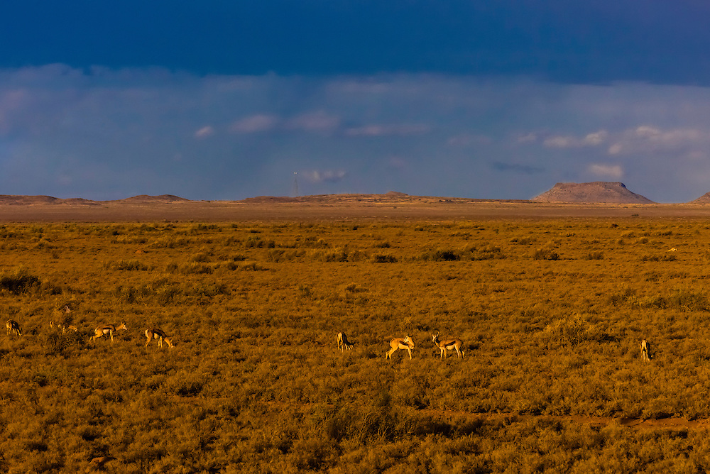 """Springbok,  a medium-sized brown and white antelope-gazelle, seen from the Rovos Rail train  """"Pride of Africa"""" as it crosses the Great Karoo Desert on it's journey between Pretoria and Cape Town, South Africa."""
