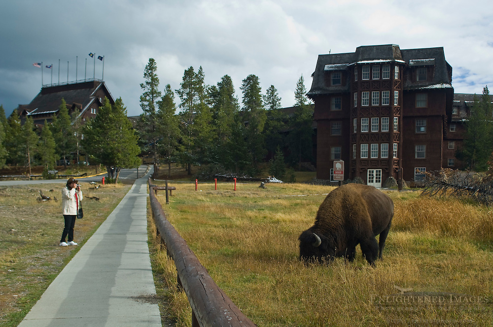American Bison Buffalo and tourist too close to wildlife animal, at Old Faithful Lodge, Yellowstone National Park, Wyoming
