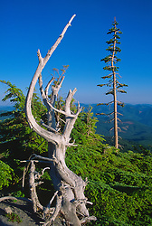 Standing Dead Tree, Mt. St. Helens National Volcanic Monument, Washington, US