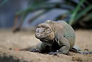 Rhinoceros Iguana <br /> Cyclura cornuta