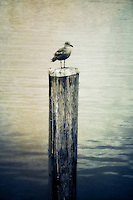 A young seagull perched on a wooden post.