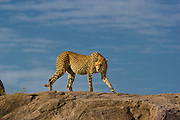 Cheetah on kopje (rock outcropping), Serengeti National Park, Tanzania.