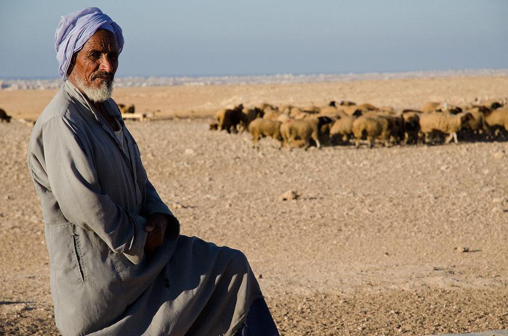 Farag Younis, a Bedouin shepherd, with the herds he tends in the desert outside of Marsa Matruh, Egypt. he does not own the sheep, but is paid to care for them by other  Bedouin. Food and water for the animals is delivered by truck, since virtually no grass grows here anymore due to the drought.