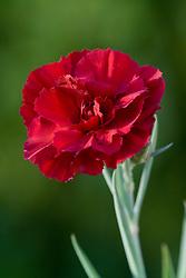 Dianthus 'Devon General'