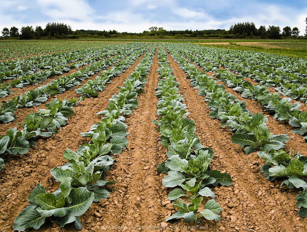 A farm field of cabbage plants under a blue sky.