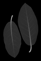 X-ray image of a rhododendron leaf duo (Rhododendron, white on black) by Jim Wehtje, specialist in x-ray art and design images.