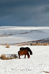 © Licensed to London News Pictures. 14/01/2016. Builth Wells, Powys, Wales, UK. Welsh ponies forage for grass under the snow which fell last night on the high moorland of the Mynydd Epynt, near Builth Wells, Powys, Wales. Photo credit: Graham M. Lawrence/LNP