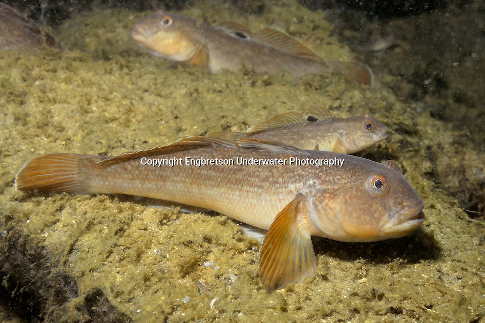 Round Goby<br /> <br /> Engbretson Underwater Photography